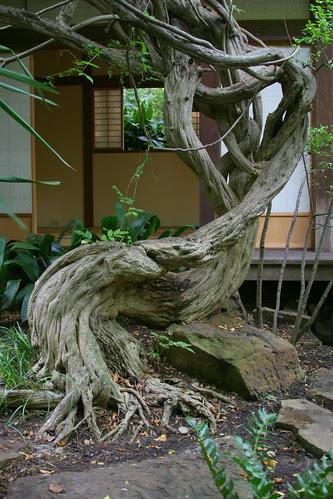 japanese garden ancient wisteria