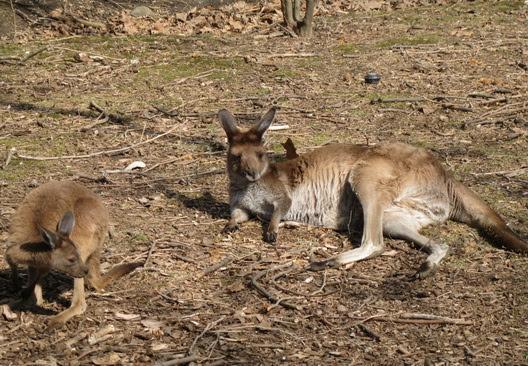 Prospect Park Zoo Kangaroos