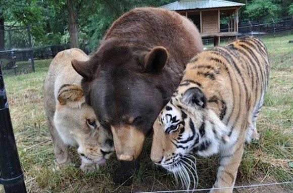 leão tigre urso amigos (1)