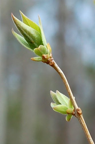 Lilac buds holding out for slightly warmer weather by Eve Fox, Garden of Eating blog, copyright 2011