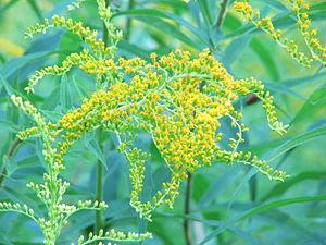 Goldenrod (Solidago graminifolia), Berlin, Ger...