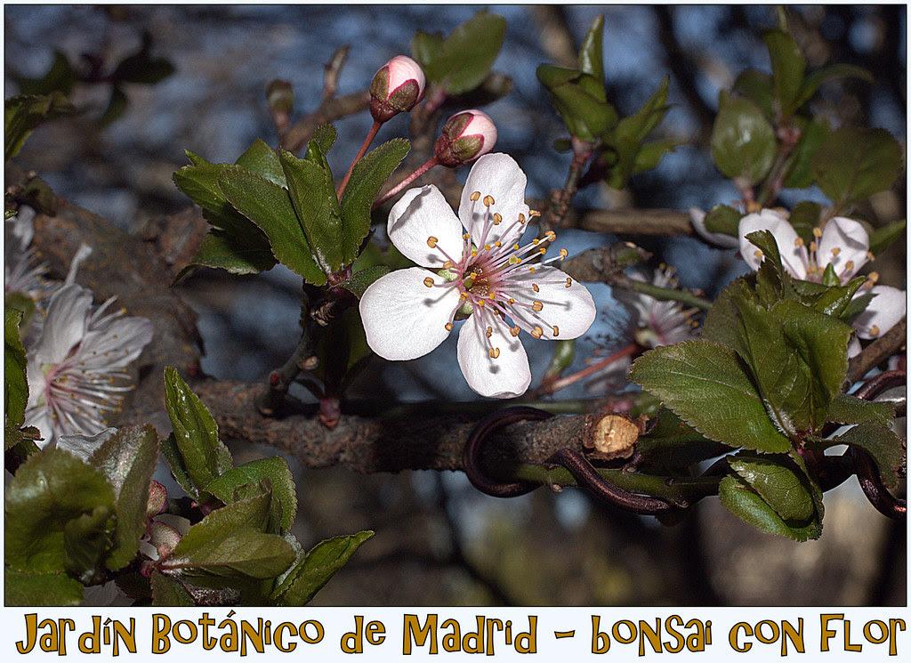 Bonsai con flores de...