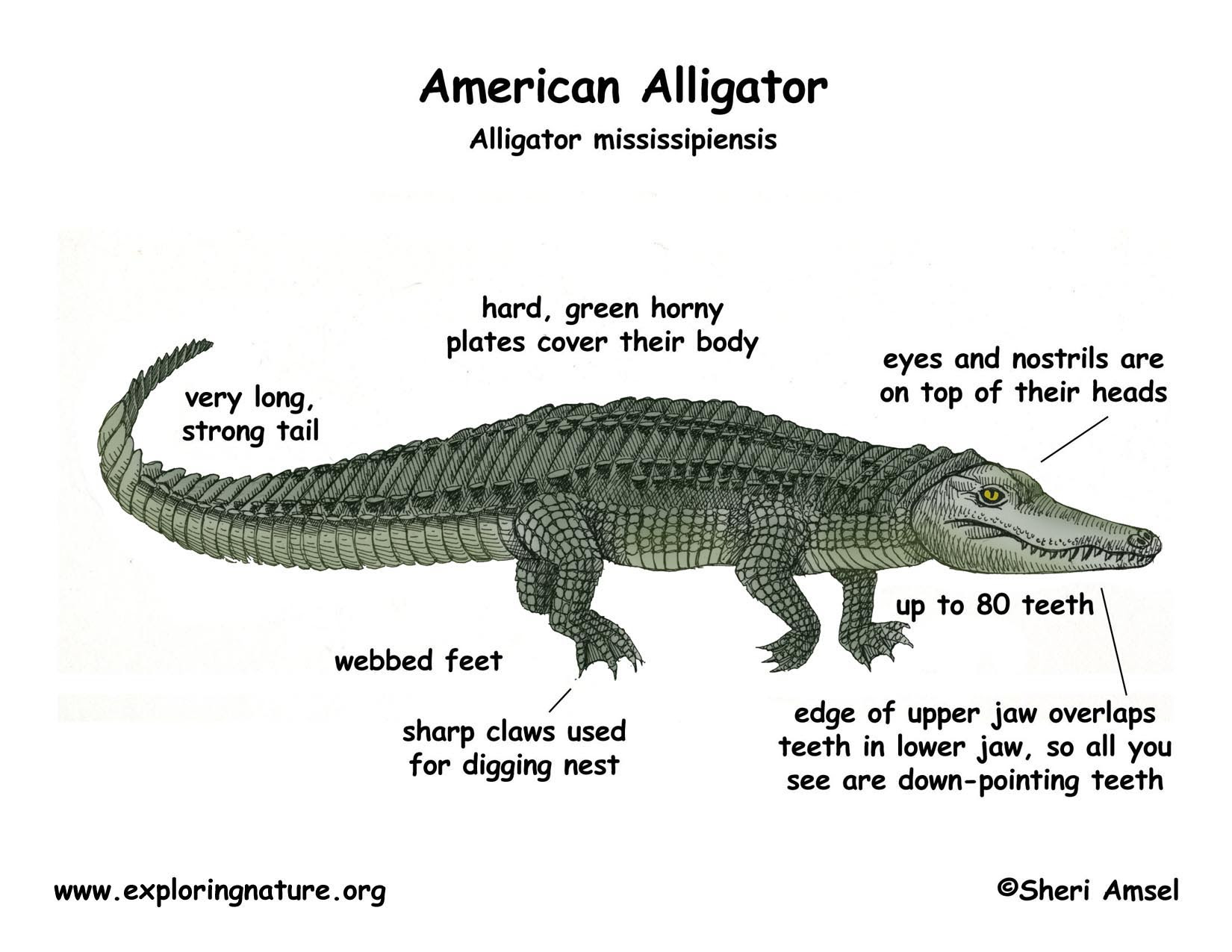 alligator_color_diagram150