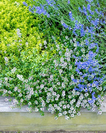 Plant combo...Lavender (Lavandula angustifolia) and two types of thyme (Thymus serphyllum 'Aurea' and Thymus vulgaris) make a colorful, useful, and fragrant groundcover.