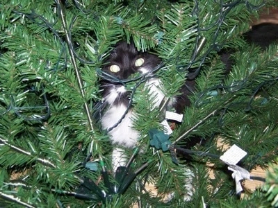 http://www.dogbreedinfo.com/images22/CatSylvesterChristmasTreeHiding.jpg