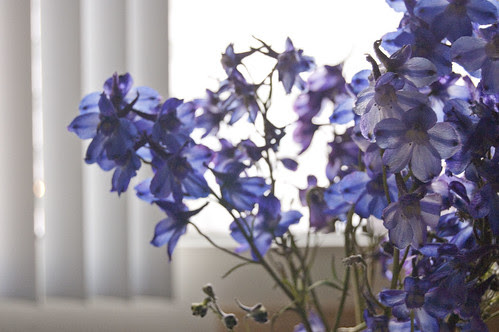 delphiniums, light