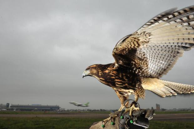 Salgado Filho efetiva o uso de falcões e gaviões para evitar choques entre aviões e pássaros Diego Vara/Agencia RBS