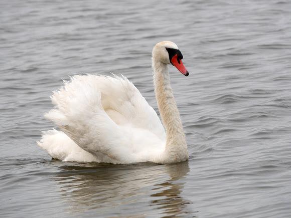 Ed Gaillard: birds &emdash; Mute Swan, East Pond, Jamaica Bay NWR