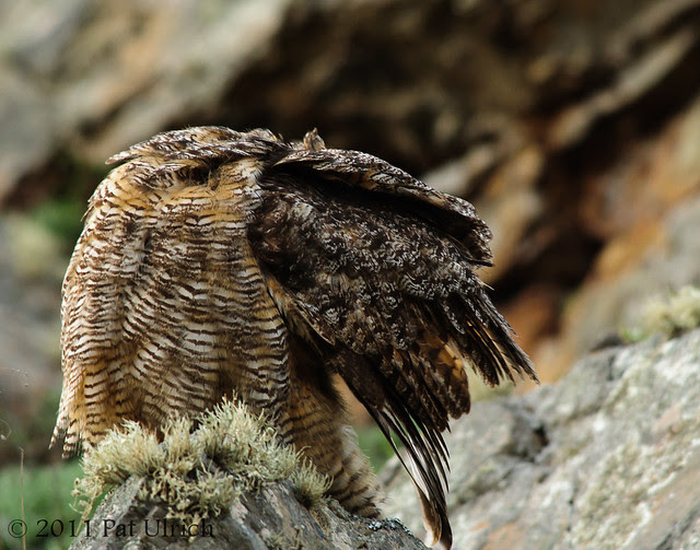 Owl preening - Pat Ulrich Wildlife Photography