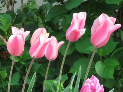 pink stripe tulips