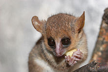 A tiny mouse lemur holds a cut piece of fruit in its hands and eats