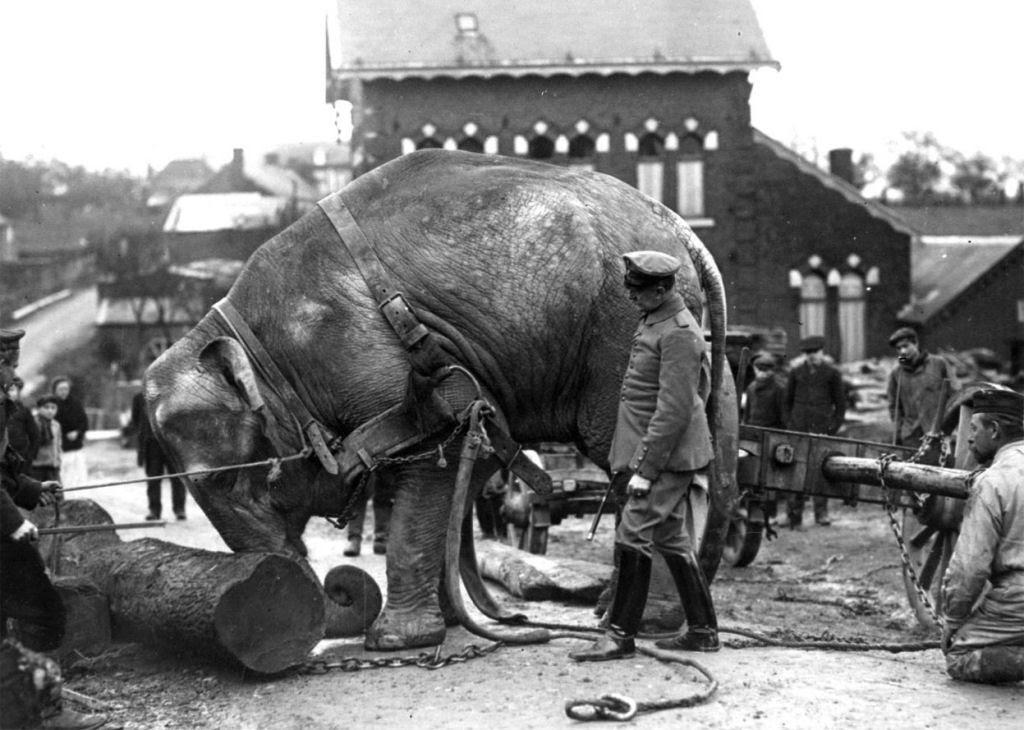 Os animais também lutaram na Primeira Guerra Mundial 13