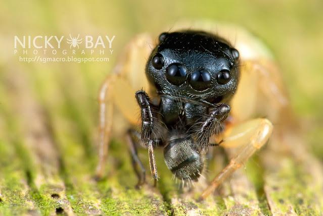 Jumping Spider (Pystira ephippigera) - DSC_9259