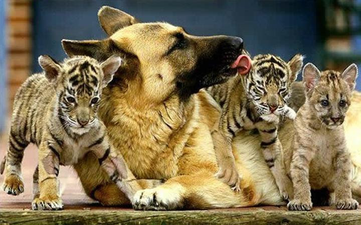 Friendship animals.  Shepherd with cubs