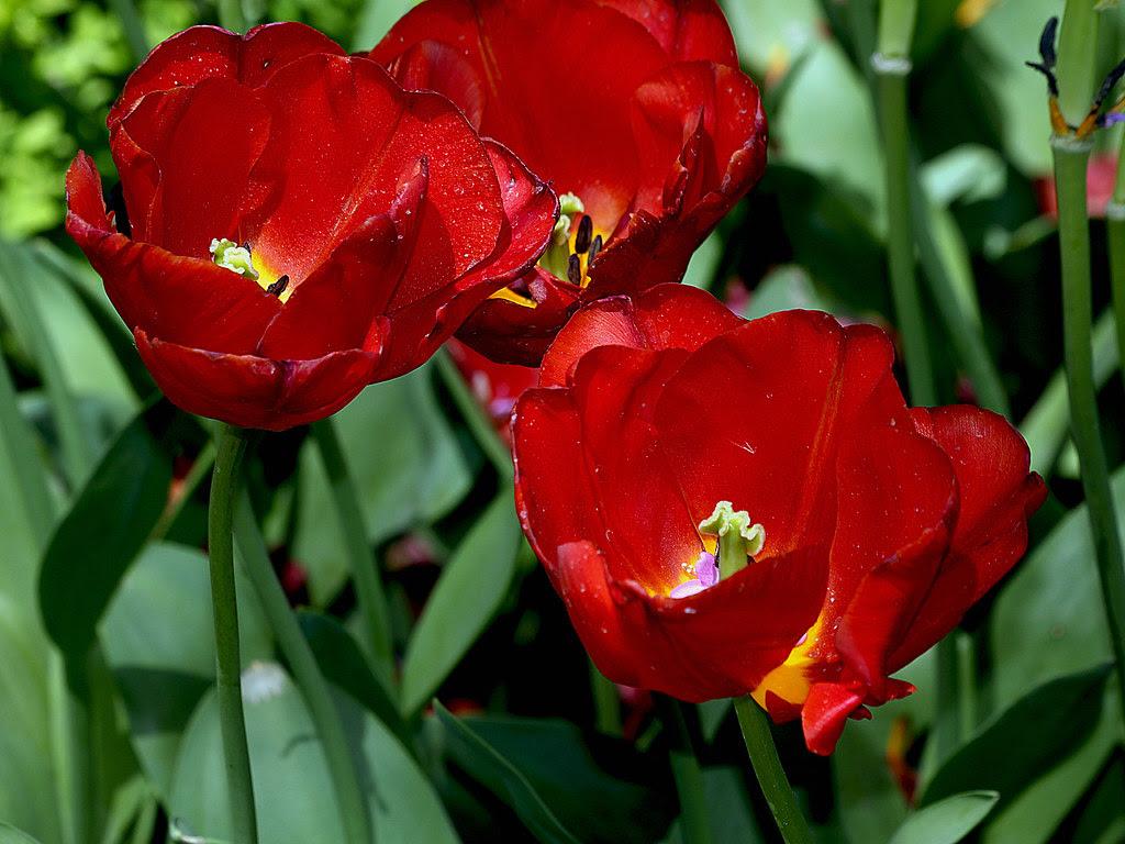 tulipanes rojos, el principio de su decadencia