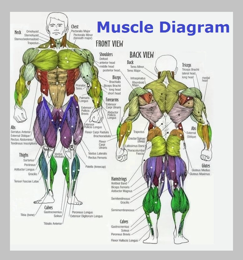 Diagram Of The Various Parts Of The Human Anatomy | Search ...