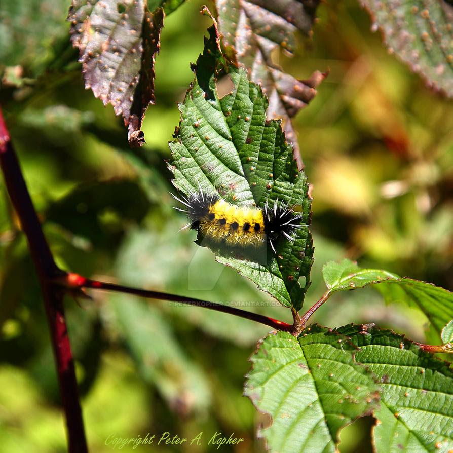 Spotted Tussock Moth by peterkopher