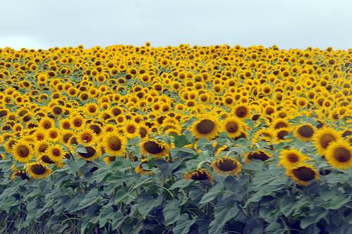 sunflowers_0294 web