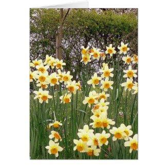 Daffodil Field In Springtime
