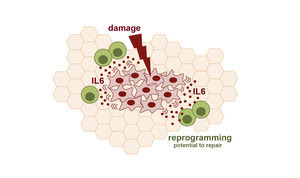El-dano-tisular-es-clave-para-la-reprogramacion-celularPreview1_large