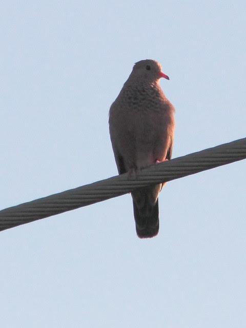 Common Ground-Dove 20120303