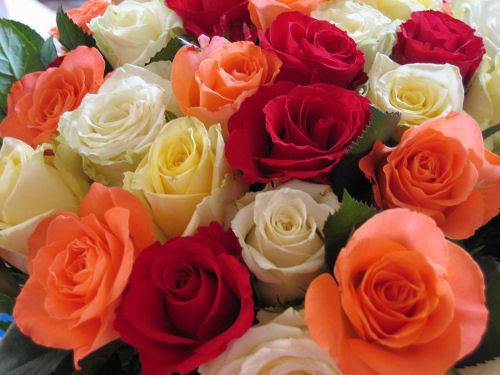 roses :: roser