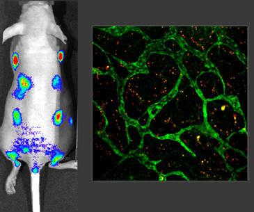 En la imagen de la izquierda, emisión de luz por los ganglios linfáticos del ratón, que expresa la proteína luciferasa. A la derecha, vasos linfáticos de los ratones que también expresan la proteína verde fluorescente. Imagen: CNIO