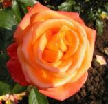 Rose Neujahr Foto Brand
