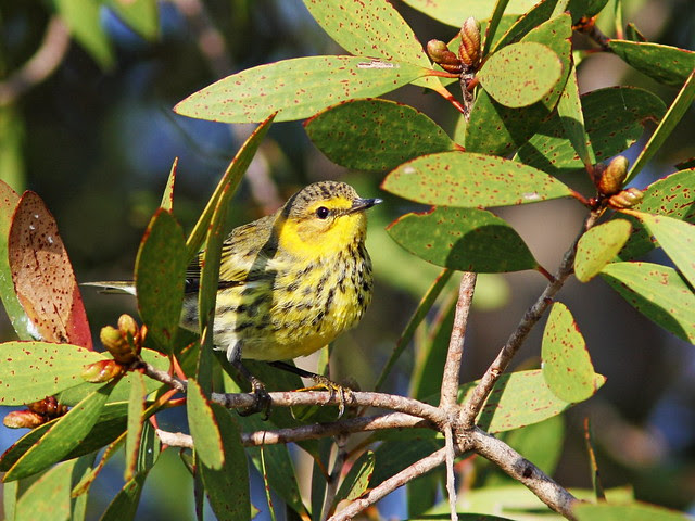 Cape May Warbler 8-20131023