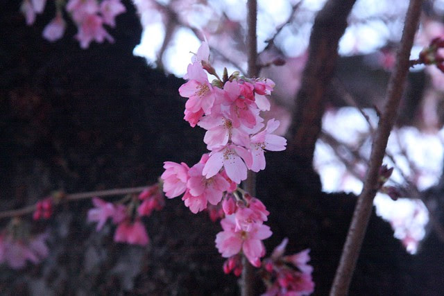 cherry blossoms, 19th & lovejoy