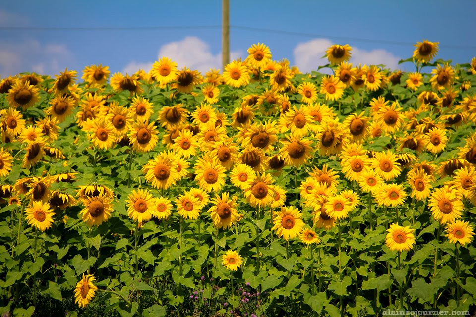 Sunflower Farm in Innisfil
