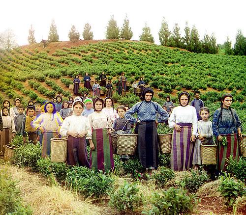 685px-Group_of_workers_harvesting_tea_Chakva_Prokudin-Gorsky