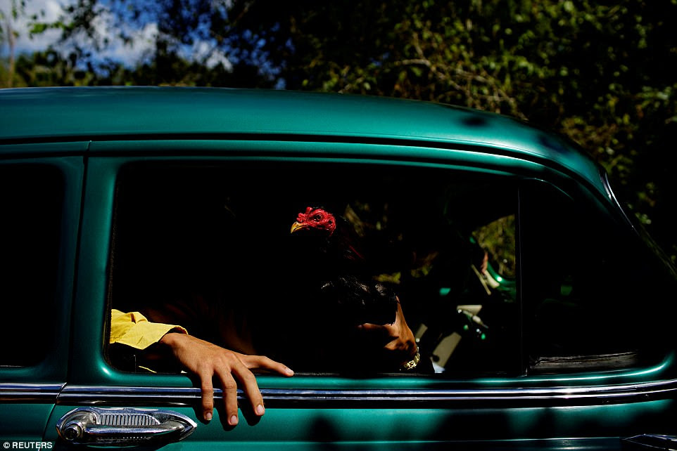 Cockfighting enthusiasts show a rooster through the window of a vintage car on their way to a cockfighting arena at the outskirts of Ciro Redondo, which is in the central region of Ciego de Avila province, Cuba. This picture was taken on February 15