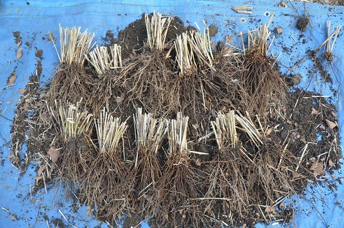 How to divide an ornamental grass