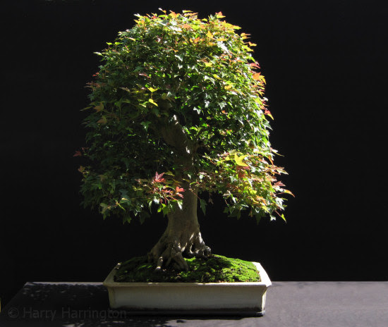 trident maple bonsai