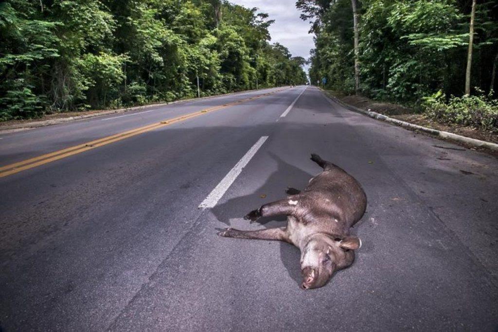 A anta é um animal vulnerável à extinção. Foto: Leonardo Merçon /ANDA/Site de Linhares