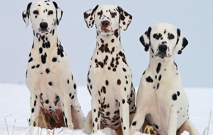 Dalmaçyalı Köpekler Hakkında Bilgi