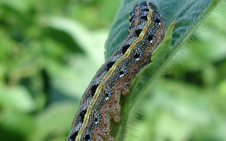An armyworm. Picture: Pixabay.com