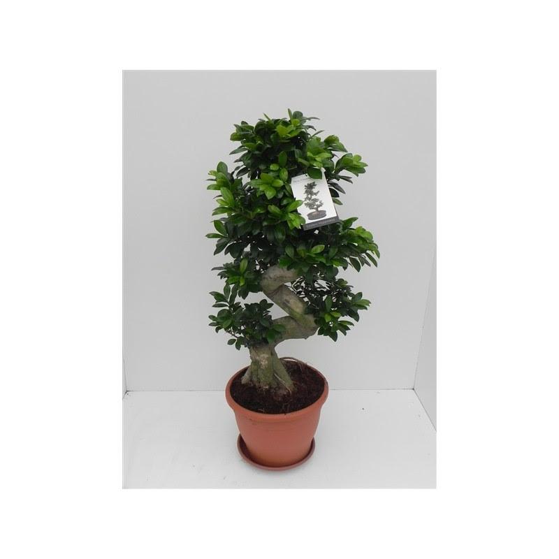 Bonsai Ginseng Xxl Floraria Design Floral Florarie Online Lumanari Nunta Si Botez Buchete Mireasa