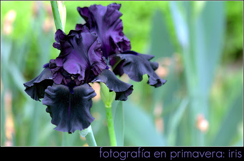 iris 'hello darkness'