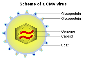 Scheme of a Cytomegalovirus (CMV).