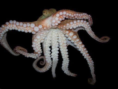 octopus wallpaper hd  desktop mobile phonelaptop