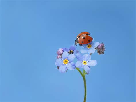 immagini belle coccinella scarafaggio insetto blu