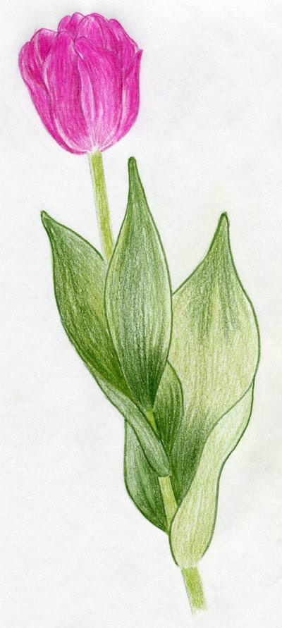 Draw  Tulip  Flowers  In Few Easy Steps