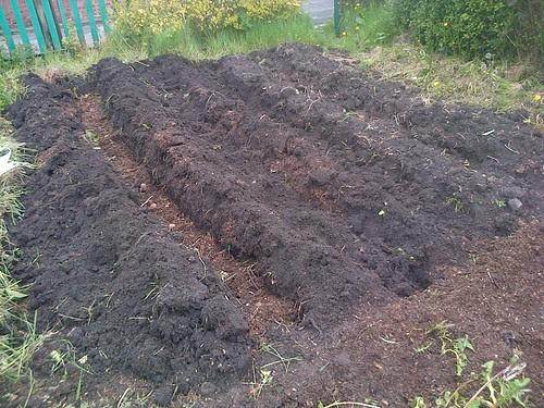 potato planting May 13 5