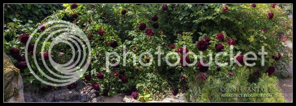 rosaddict.blogspot.com