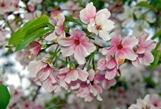 Dogwoods Cherry Blossoms In Full Bloomthe Locust Fork News Journal