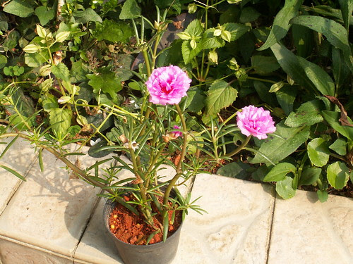 Portulaca (10) - young plant