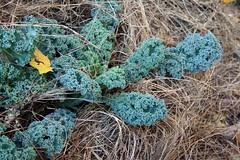 mulched winterbor kale