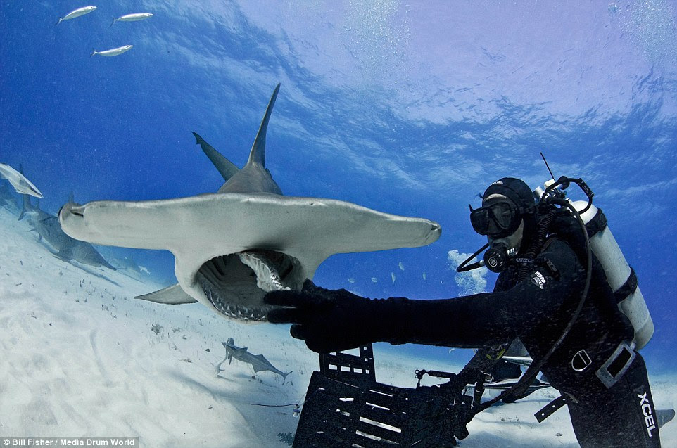 Wolfed down: Mr Romeiro has produced a number of short films promoting the beauty and complexity of sharks